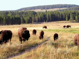 Buffle (bison) au parc national de Yellowstone
