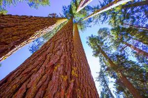 séquoias en californie vue d'en bas