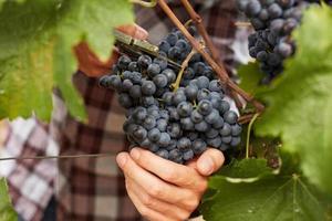 le fermier à la récolte des raisins photo