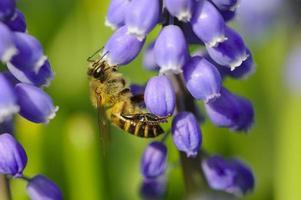 abeille entre les fleurs