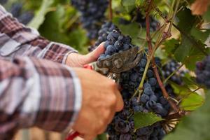agriculteurs mains avec sécateur de jardin photo