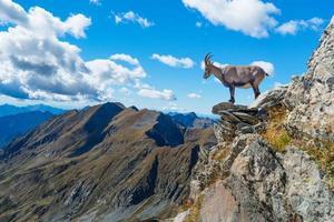 bouquetin sur rocher dans les montagnes