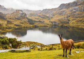 Lama dans le parc national de cajas en équateur