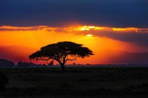 Silhouette d'arbre africain sur le coucher du soleil dans la savane