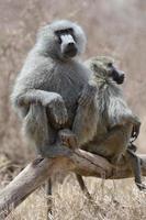 babouin mâle photo