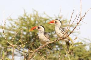 Couple de calaos à bec rouge tanzanien