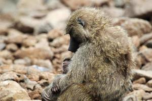 bébé et mère babouin olive (papio anubis) photo