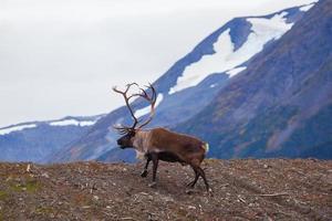 caribou en alaska photo