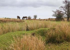 poney exmoor photo