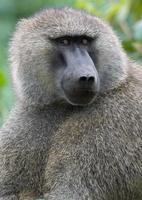 babouin olive photo