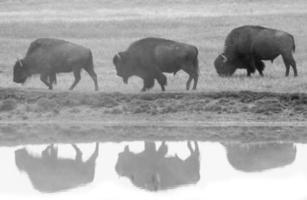 Profil et réflexion de trois bisons