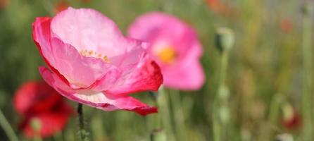 coquelicots, fleurs, été
