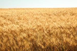 les champs d'or