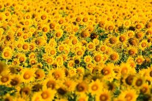 champ de tournesols. photo