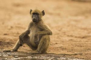 Jeune babouin chacma (Papio ursinus) assis au bord de l'eau photo