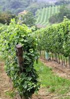 vignobles à la campagne à la fin de l'été