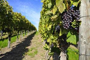 vignoble - vin doux