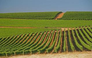 vignobles verts en été en afrique du sud