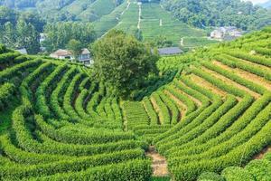 plantations de thé photo