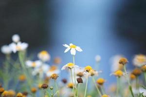petite fleur blanche photo