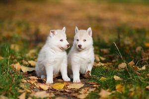 deux chiot husky