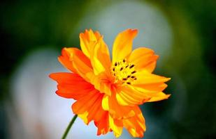 fleur orange brillant avec arrière-plan flou photo