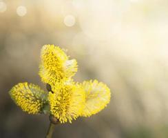 Chaton saule jaune sur arbre, ensoleillé, printemps photo
