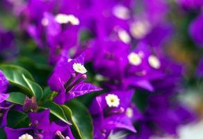 fleurs de bougainvilliers violets photo