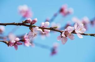 fleurs de cerisier - fleurs de sakura rose