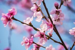 fleurs de cerisier - rosa sakura