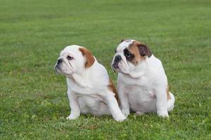 deux chiots bulldog photo