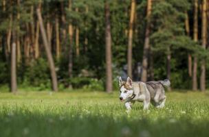 chiot husky sibérien.