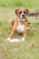 chiot boxer pose dans l'herbe