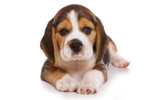 Chiot beagle sur fond blanc photo