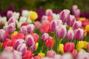 tulipe de lit de rivière