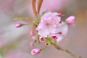 la floraison des cerisiers japonais