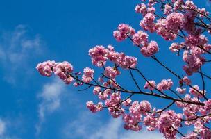sakura rose