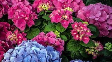 Hortensia rose et cyan en serre