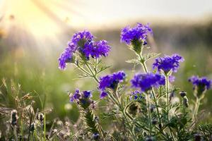 fleurs sauvages de verveine des prairies photo