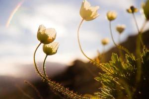 fleurs sauvages ensoleillées de minuit - svalbard