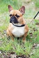 Portrait de chiot bull dog