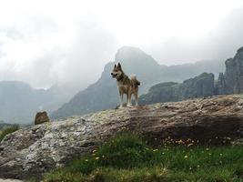 Chien laika de Sibérie occidentale dans les montagnes nuageuses