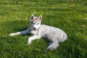 Portrait de chiot husky sibérien photo