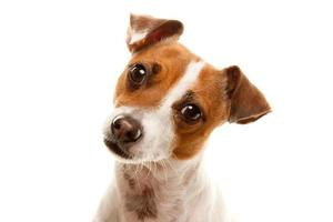 Portrait d'un adorable jack russell terrier photo