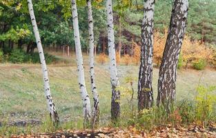 bouleaux d'automne