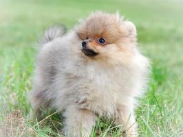 chien de Poméranie photo