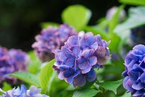 hortensia violet