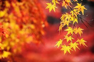 jardin japonais d'automne à l'érable