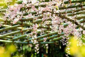 Saison de Sakura à Kyoto, Japon