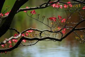 fleurs de cornouiller rose photo